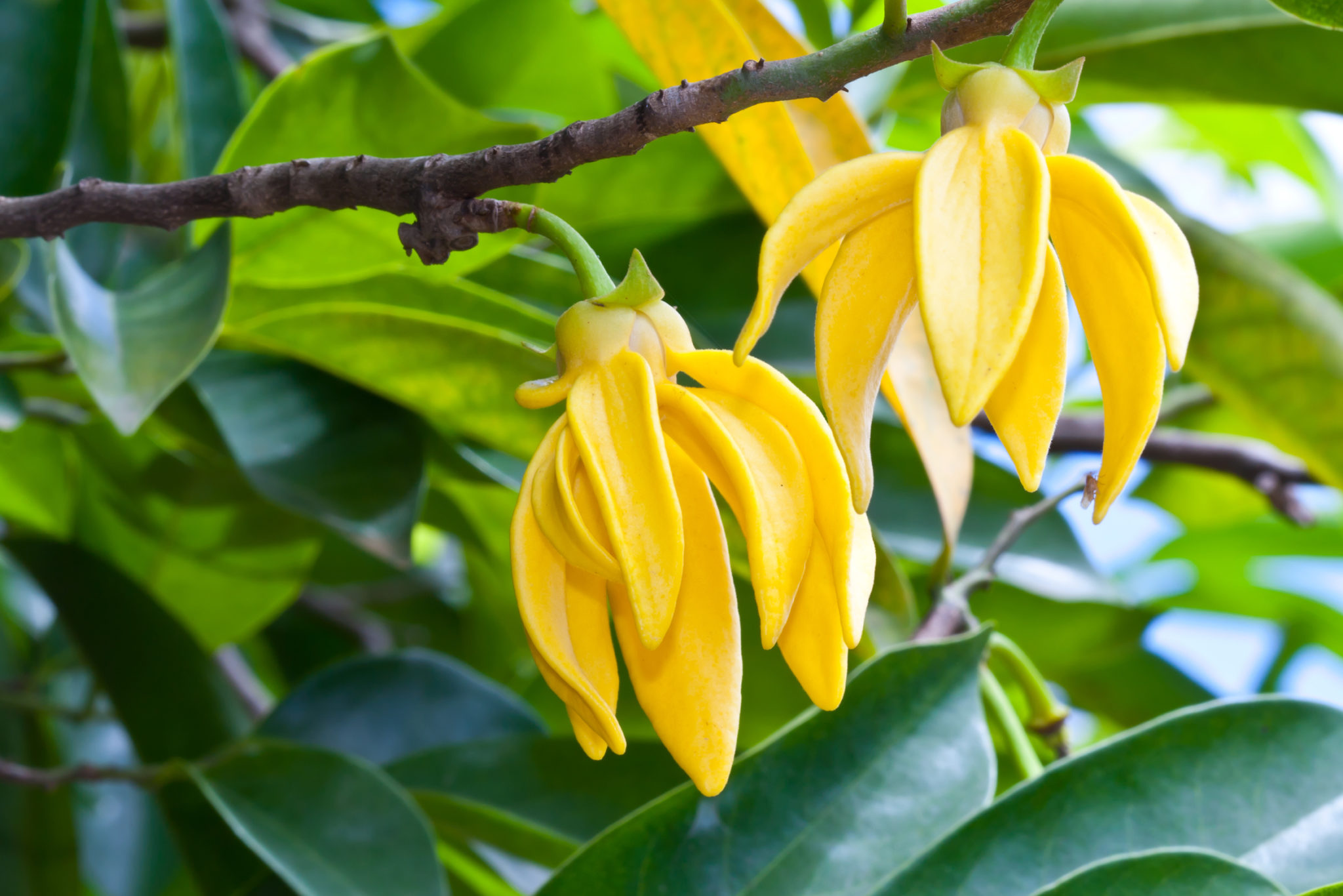 Ylang-Ylang Flowers on tree